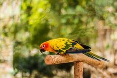 Il pappagallo di conuro di Sun si siede appollaiato sul ramo Fotografia Stock