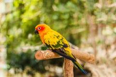 Il pappagallo di conuro di Sun si siede appollaiato sul ramo Fotografie Stock Libere da Diritti