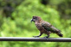 Il pappagallo di Kea può essere trovato in Nuova Zelanda immagini stock libere da diritti