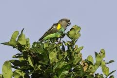 Il pappagallo di Meyer (Brown), chiamante Fotografie Stock Libere da Diritti