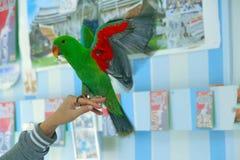 Il pappagallo maschio di Eclectus, invecchia cinque mesi Le ali di allungamento degli uccelli Fotografia Stock