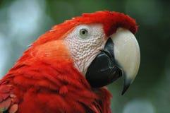Il pappagallo rosso Fotografie Stock Libere da Diritti