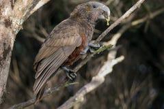 Il pappagallo selvaggio della Nuova Zelanda mangia la corteccia di albero Immagini Stock