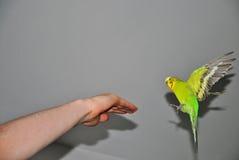 Il pappagallo sta atterrando Fotografie Stock Libere da Diritti