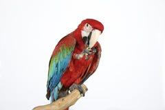 Il pappagallo variopinto ha atterrato sul ramo, su bianco Fotografia Stock Libera da Diritti