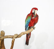 Il pappagallo variopinto ha atterrato sul ramo, su bianco Immagini Stock