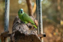 Il pappagallo variopinto sta sedendosi su un ramo fotografia stock