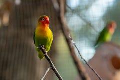 Il pappagallo variopinto sta sedendosi su un ramo immagini stock libere da diritti