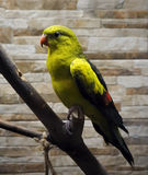 Il pappagallo verde sta sedendosi al ritratto del ramo Fotografie Stock Libere da Diritti