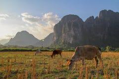 Il paradiso della mucca al Laos Fotografia Stock Libera da Diritti