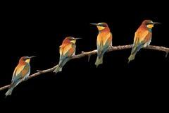 Il paradiso ha colorato gli uccelli che si siedono sul nero isolato ramo Fotografia Stock Libera da Diritti
