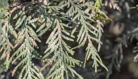 Il parassita del Diaspididae è un insetto sulle foglie di alto vicino dei T del thuja immagini stock libere da diritti