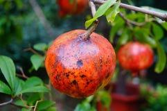 Il parassita della frutta del melograno Immagine Stock Libera da Diritti