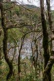 Il parco naturale con muschio ha coperto la foresta del legno di bosso, la regione di Krasnodar, Russia immagini stock libere da diritti