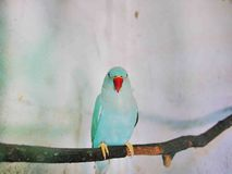 Il parrocchetto blu Fotografia Stock