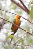 Il parrocchetto o il pappagallo sta dormendo sul ramo di albero Fotografia Stock