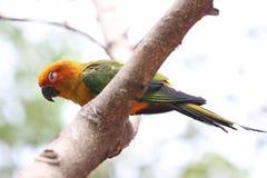 Il parrocchetto o il pappagallo sta dormendo sul ramo di albero Immagini Stock