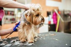 Il parrucchiere falcia la pelliccia dell'Yorkshire terrier sull'orecchio con un regolatore Immagini Stock