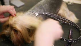 Il parrucchiere professionista della donna per i cani veste una banda elastica sulle code di fabbricazione cape del ` s del cane archivi video
