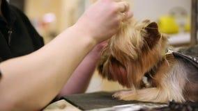 Il parrucchiere professionista della donna per i cani veste una banda elastica sulle code di fabbricazione cape del ` s del cane video d archivio