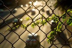 Il Parthenocissus si sviluppa su una griglia sopra la strada principale fotografia stock