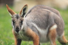 wallaby di roccia Giallo-footed Fotografie Stock