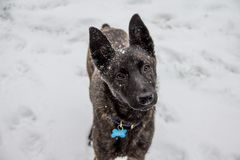 Il partner volente, un cane trasversale della razza del pastore belga esamina amoroso la macchina fotografica fotografia stock