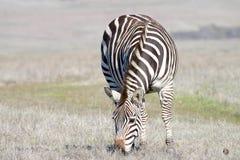 Il pascolo adulto della zebra in una carestia ha seccato il campo Fotografie Stock