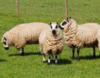Il pascolo del tasso ha affrontato le pecore Fotografia Stock Libera da Diritti