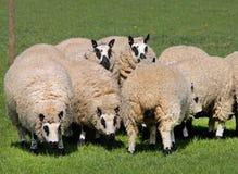 Il pascolo del tasso ha affrontato le pecore Immagine Stock
