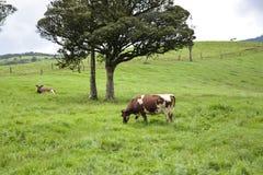 Il pascolo della mucca Fotografie Stock