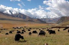 Il pascolo tibetano Immagini Stock Libere da Diritti