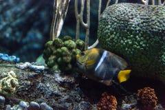 Il passante di Holacanthus dell'angelo di mare di re è un pesce tropicale Fotografia Stock