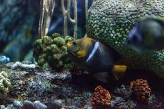 Il passante di Holacanthus dell'angelo di mare di re è un pesce tropicale Fotografie Stock