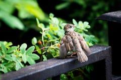 Il passero è pronto a decollare Fotografie Stock Libere da Diritti
