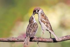 Il passero alimenta gli uccellini implumi Fotografie Stock