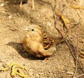 Il passero bagna nella sabbia Fotografie Stock Libere da Diritti