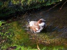Il passero cattura un bagno Fotografia Stock Libera da Diritti