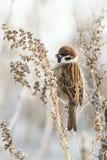 Il passero che si siede sull'erba e mangia i semi di artemisia Fotografie Stock