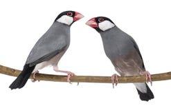 Il passero di due Java si è appollaiato su un oryzivora del Padda del ramo immagini stock libere da diritti