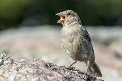 Il passero (domesticus del passante) Fotografia Stock