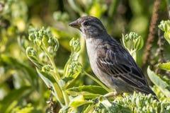 Il passero (domesticus del passante) Fotografia Stock Libera da Diritti