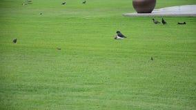 Il passero ed i piccioni o gli uccelli delle colombe su erba fanno il giardinaggio stock footage