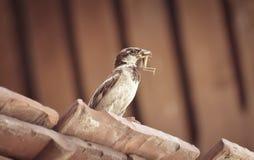 Il passero ha cercato una cavalletta fotografia stock