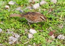Il passero ha trovato qualcosa nell'erba Immagini Stock