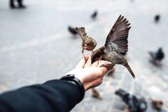 il passero mangia con le mani sul vecchio quadrato di Varsavia Immagini Stock Libere da Diritti