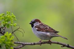 Il passero maschio si siede su un ramo della molla dell'acero fotografia stock
