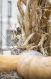 Il passero rosicchia i grani del grano Fotografia Stock
