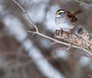 Il passero si è appollaiato in albero Fotografie Stock Libere da Diritti