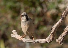 Il passero si è appollaiato su un ramo con la sua testa drizzata al lato Immagine Stock Libera da Diritti